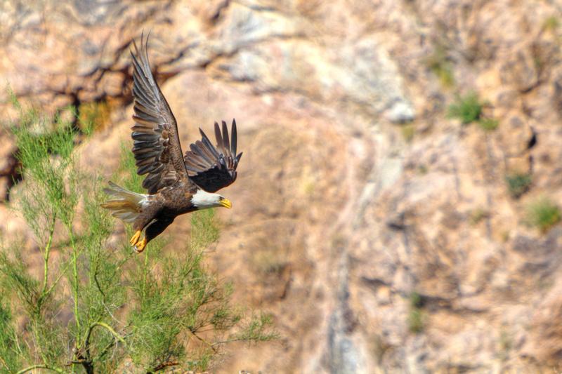 Bald Eagle Sonoran Success
