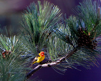 Male Western Tanager 5x4