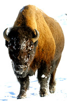 Bison Color-BW Winter Series