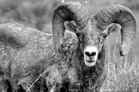 Bighorn Sheep Color-BW Series