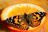 Painted Lady of Orange