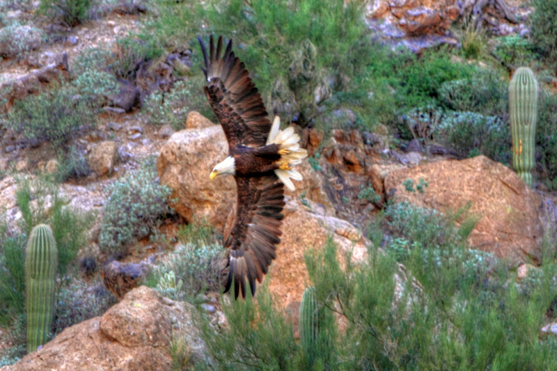 Sonoran Bald Eagle of Canyon Lake