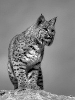 Bobcat Color-BW Series